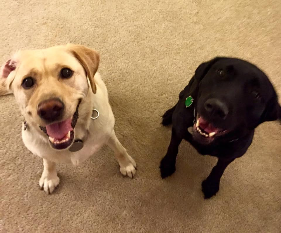 PD: Zoe and Tai Tomasi's guide dog, Lava, are sitting side by side. Lava is a cute black lab. Both dogs are smiling happily, and one of Zoe's ears is flipped inside out from playing.