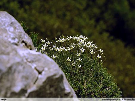 Arenaria grandiflora, uma espécie única no PNSAC