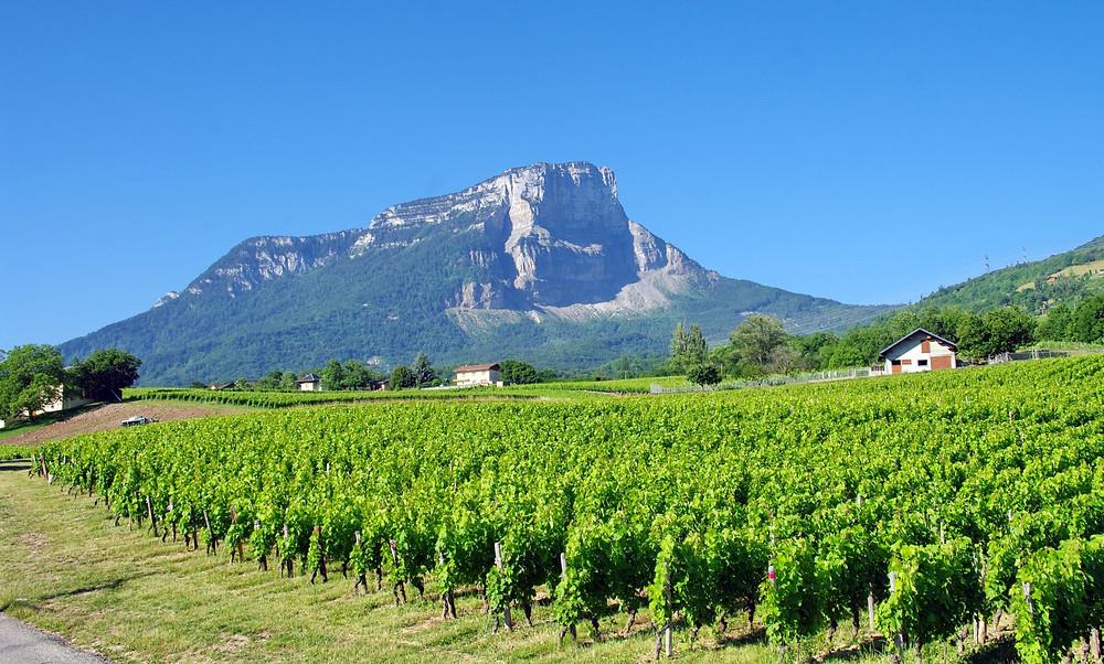 vignes savoyardes avec vue sur la Chartreuse, à proximité du gîte Galloux Goubert