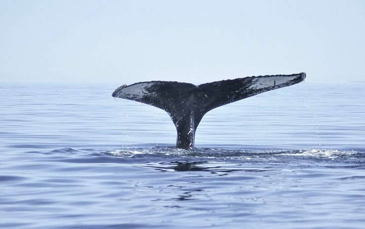 baleine-tadoussac.jpg