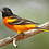 Thumbnail: Oriole - Single Cup Feeder