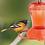 Thumbnail: Oriole Feeder - Orange - 28 oz
