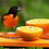 Thumbnail: Recycled Oriole Feeder