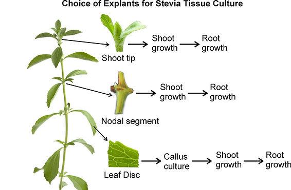 Explants choice.jpg