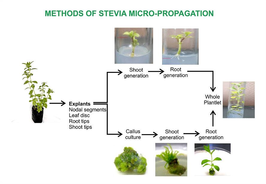 Stevia Micropropagation.jpg