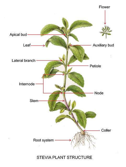 Plant structure.jpg