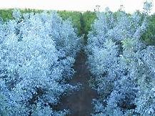 Kaolin treated plants