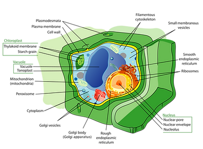 1280px-Plant_cell_structure-en.svg.png
