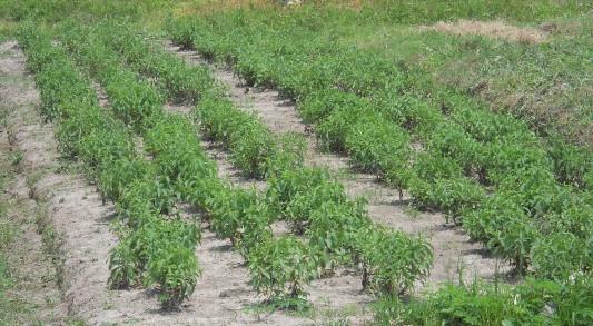 Small Backyeard Stevia Plantation