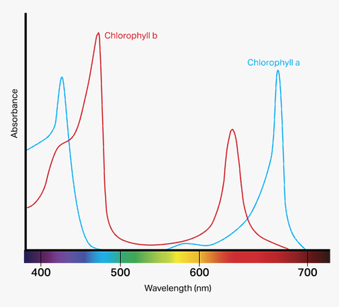 Chlorophyll Absorption spectrum.png