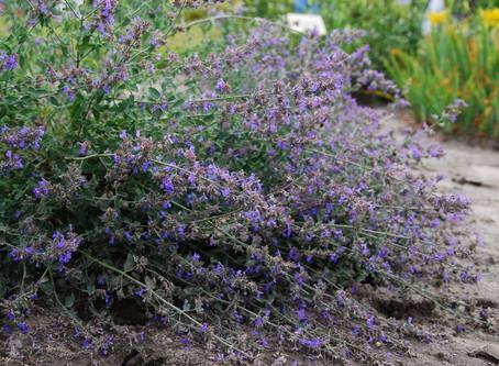 Pflanze des Monats Juni: Katzenminze