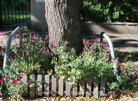 Pflanze des Monats August: Die Kronenlichtnelke