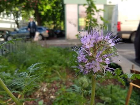 Pflanze des Monats Mai: Phacelia - die Bienenfreundin