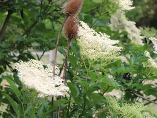 Holunderblüte / Holunderbusch