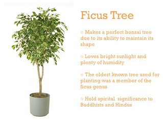 Plant of the Month - Ficus Tree