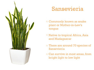 Plant of the Month: Sansevieria