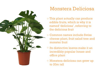 Plant of the Month - Monstera deliciosa