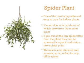 Plant of the Month - Spider Plant