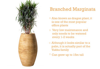 Plant of the Month - Branched Marginata