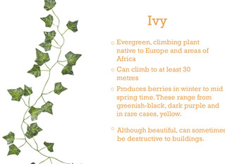 Plant of the Month - Ivy