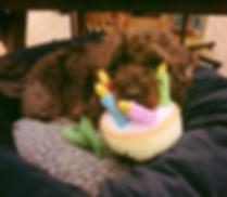 Presto, dog, cute, puppy, birthday cake