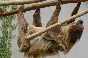 sloth-1502299_960_720.jpg