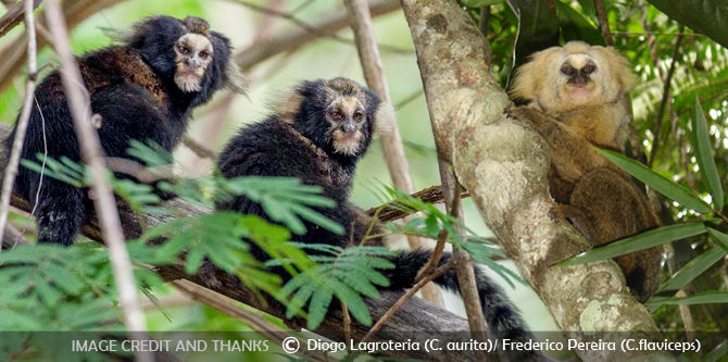 two endangered marmosets - Buffy tufted-ear marmoset and Buffy headed marmoset