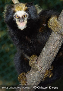 Buffy tufted-ear marmoset (Callithrix aurita) Christoph Knogge