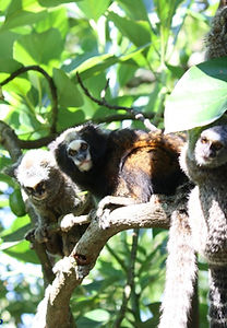 Buffy tufted-ear marmoset (C. aurita) among hybrids