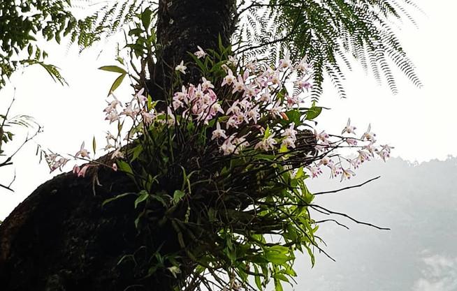 mandal orchids.jpg