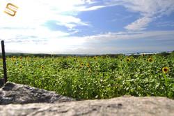 Travel- CT- Sunflowers