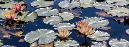 Water Lillies-Brickner.JPG