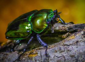 Brickner_Green Beetle.jpg