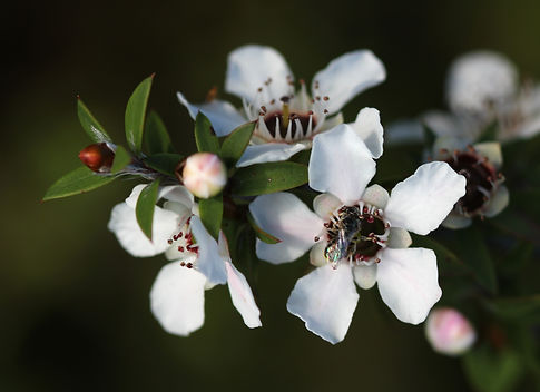 Manuka_flowers_and_native_bee.jpg