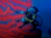 gorgonie rosse.jpg