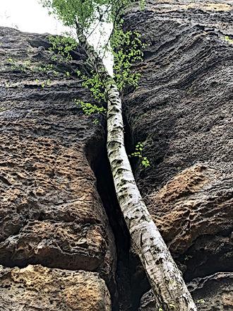 Træ i revnen.jpeg