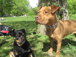 best-dogwalkers-in-brooklyn_godog-dogcare