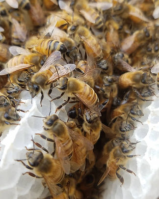 A closeup of bees (they look friendly!)