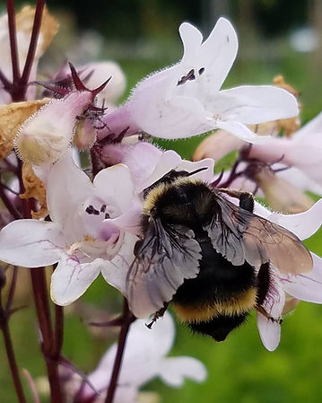 An excessively fat fuzzy bee in some flowers.