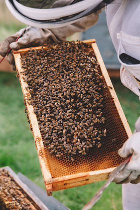 A beekeeper holding and inspecting a frame covered in bees.