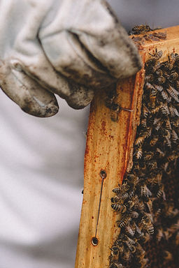 A closeup of beekeeper's hand holding a frame of bees.