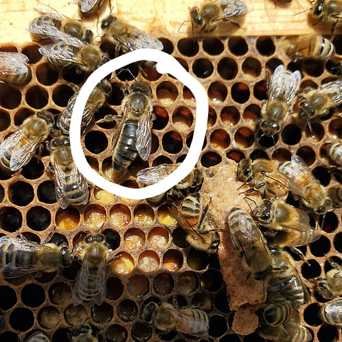 Queen Rearing and Grafting Masterclass