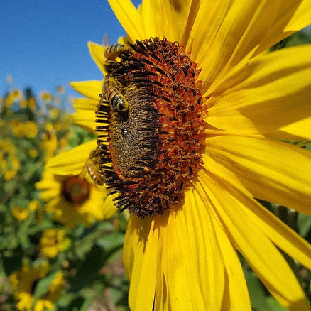 A closeup of a yellow sunflower with bees on it and more sunflowers in the background