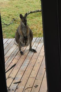 Visiting wallaby and joey
