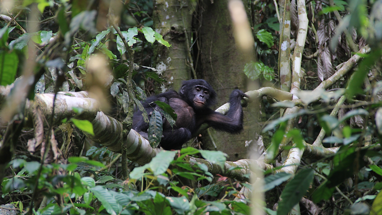 Bonobo in Wamba, DRC (Cintia Garai, Wildlife Messengers)