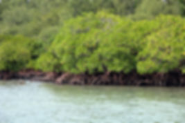 mangrove-798578_1280.jpg