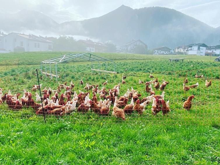 Freilandhühner vom Broslerhof