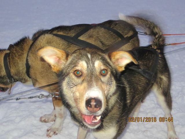 Huskies in Karesuando, Sweden