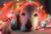 Gracie-the-festive-puppy.jpg
