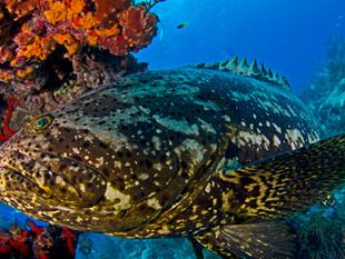 Pesca do mero segue proibida por mais oito anos na costa brasileira